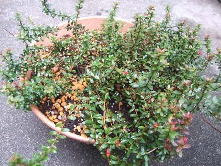 Cranberry uekae (6).JPG