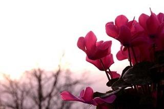 シクラメン、花後の栽培方法|夏越しのコツ