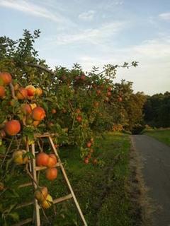 リンゴの収穫時期に|青森の農園より