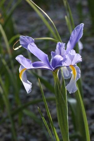 Dutch iris (1).jpg