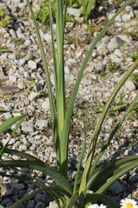 Dutch iris (3).jpg