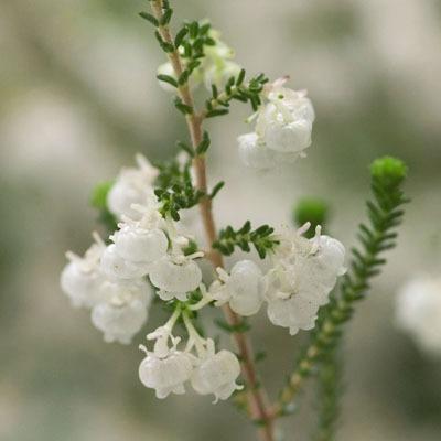 E. formosa (4).jpg