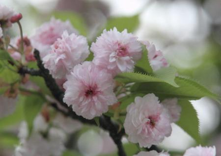 兼六園菊桜.jpg