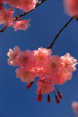 桜 閑山.jpg