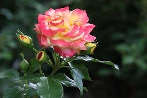 バラの育て方 6月|HT、フロリバンダ 鉢植え