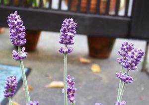 English lavender (2).JPG