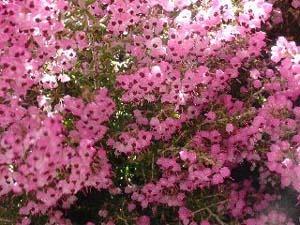 Erica canaliculata.jpg