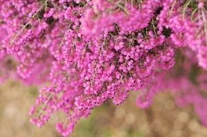 ジャノメエリカ 花後の管理と剪定