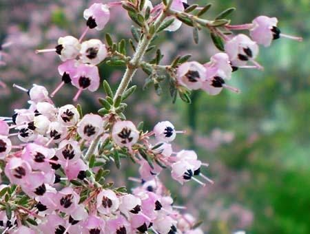 Erica canaliculata (2).jpg