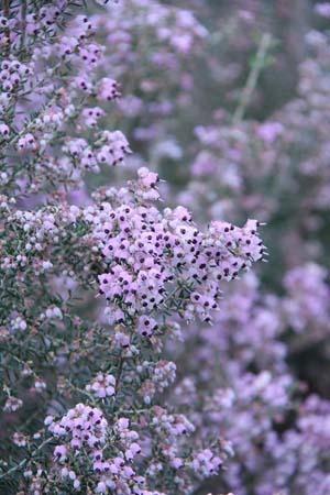 Erica canaliculata (3).jpg