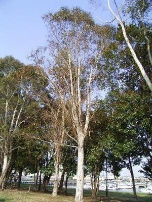 Eucalyptus (1).jpg
