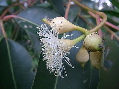 Eucalyptus (2).jpg