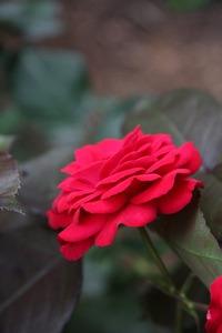 バラの育て方 シュート