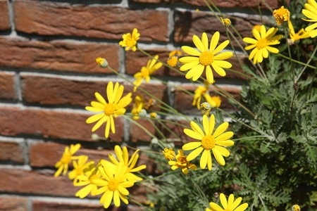 Euryops daisy.jpg