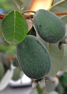 Feijoa sellowiana (2).jpg