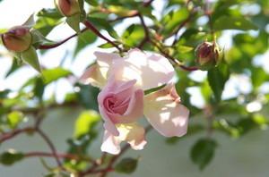 初心者対象! つるバラの育て方|水やりから剪定まで