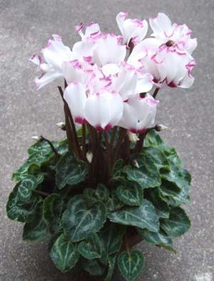 Gardencyclamen01.JPG