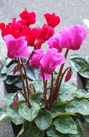 Gardencyclamen1.jpg