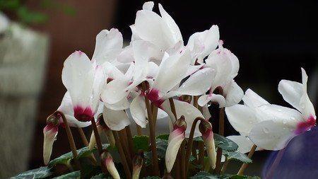 Gardencyclamen10.jpg