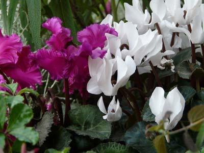 Gardencyclamen (2).jpg