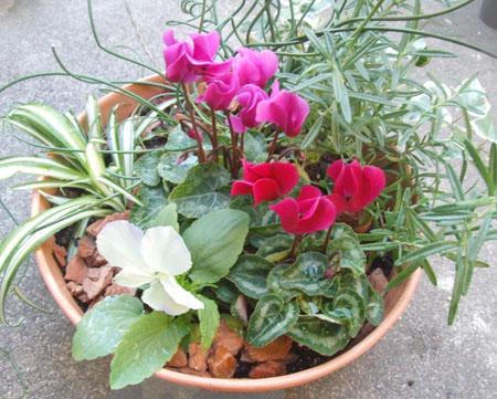 Gardencyclamen (3).JPG