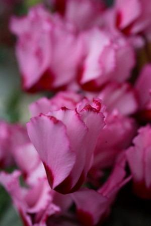 Gardencyclamen (5).jpg