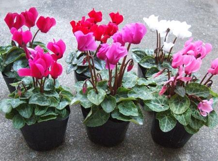 Gardencyclamen (8).jpg