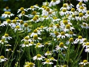 German chamomile (2).jpg