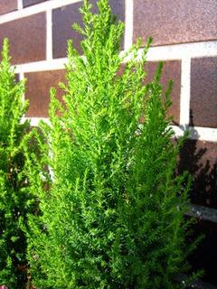 ゴールドクレストの育て方|クリスマスツリーに最適!