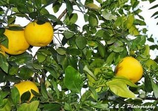 グレープフルーツの育て方 栽培方法