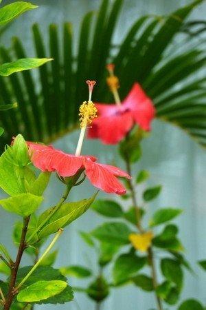 Hibiscus-new2001.jpg