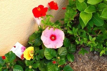 Hibiscus-new2003.jpg