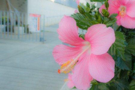 Hibiscus-new2004.jpg