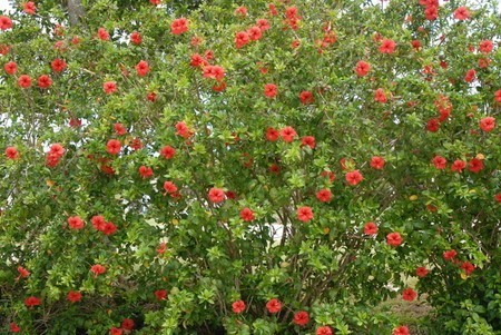 Hibiscus001.jpg