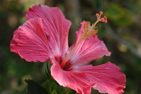 Hibiscus002.jpg