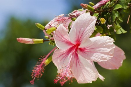 Hibiscus003.jpg