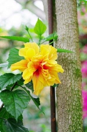 Hibiscus004.jpg