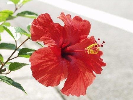 Hibiscus005.jpg