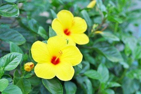 Hibiscus011.jpg