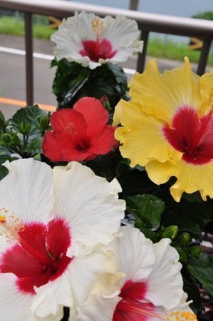 Hibiscus013.jpg