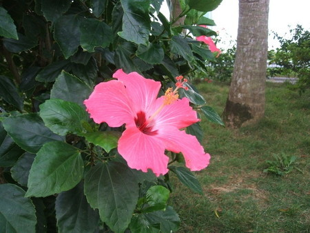 Hibiscus02.jpg