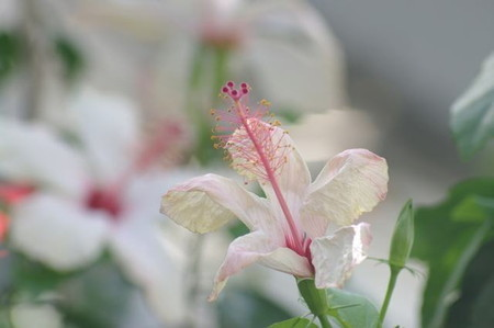 Hibiscus03.jpg