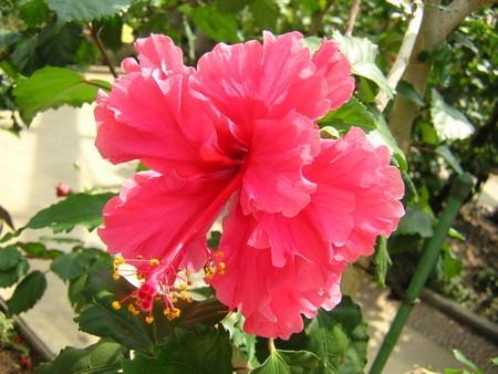 Hibiscus030.jpg
