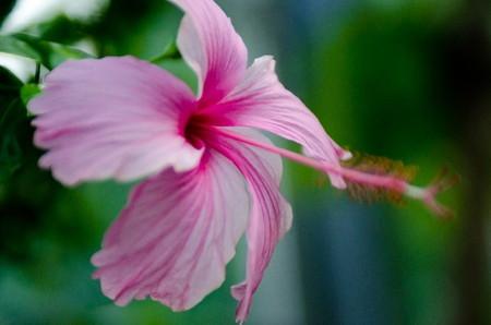 Hibiscus031.jpg
