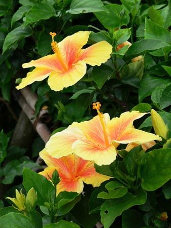 Hibiscus (1).jpg