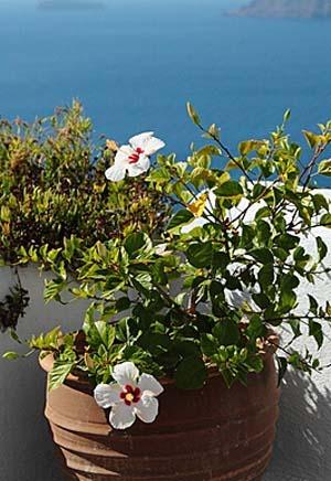 Hibiscus (7).jpg