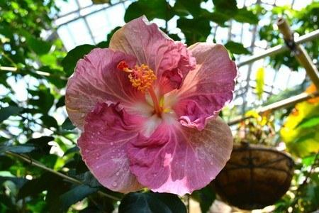 Hibiscus2016-01.jpg