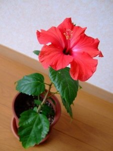 Hibiscus (10).jpg