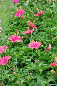 Hibiscus (6).jpg