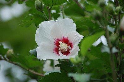 Hibiscus syriacus (1).jpg